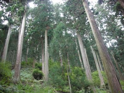 清光林業(株)の250年生のスギ・ヒノキ林