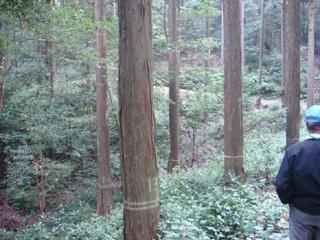 二重ペンキ木と一重ペンキ木