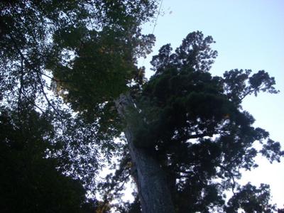 御神木の樹頂方向