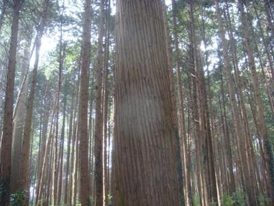 スギ(上層)とヒノキ(下層)の二段林