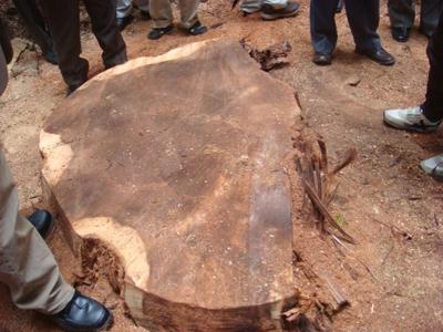 大径サンブスギの伐根